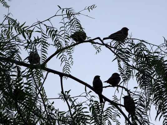 photo credit: Birds on Pepper Tree Branch (1) via photopin (license)