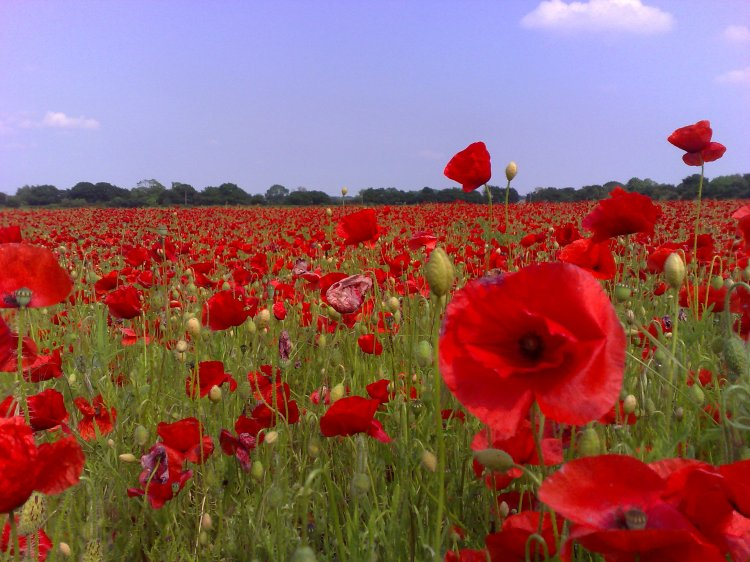 photo credit: Poppy field in Doncaster via photopin (license)