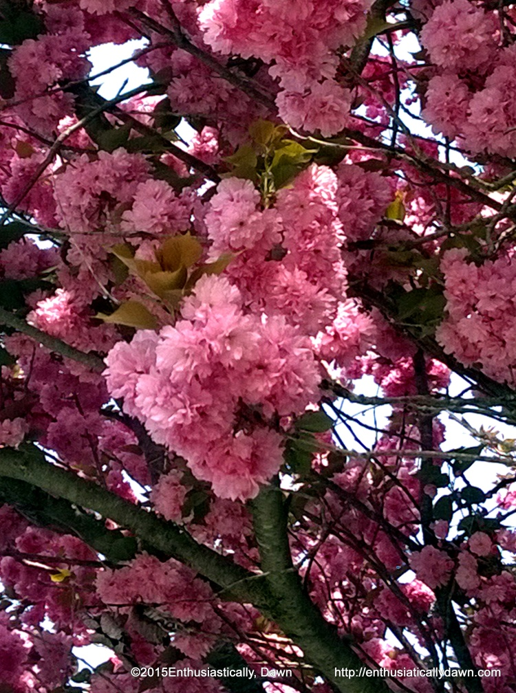 Rhode Island beauty! Looking up from my morning walk, I was sheltered under this beautiful flowering tree! What is it? I know I should know...but alas, do not. ;)